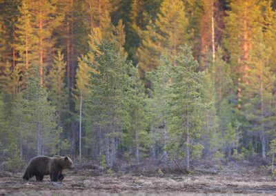 European Brown Bear (Ursos Arctos) by sunset